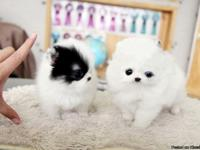 We have two cute Pomeranian puppies in need of a