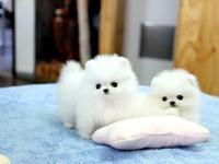 DZ Pomeranian puppies.text (762) 278-0274