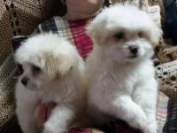 Very cute adorable pomeranian shitzu puppies for sale,2