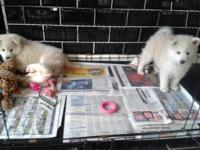 Hi There :) I have two beautiful pomsky left born on
