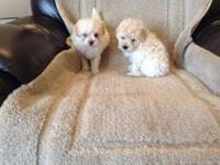 Cute poodle Pomeranian puppies. They are 6 weeks old.