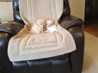 Cute poodle/ Pomeranian puppies. They are 6 weeks old