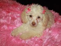 We have one male and one female Toy Poodle for