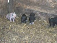 Cute Pot Belly Pigs. 10 days old, born July 26, 2012.