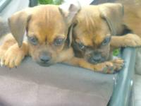 We have two Pug/Mini Dachshund puppies for sale. They