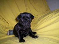 Blk. Lady & & Male Pug Puppies. As much as date w/shots