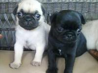 i have cute little pug puppies looking for their