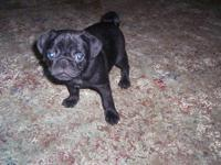 Adorable pug puppies born November 23,2012. They will