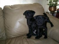 31/2 mon.old pugs, 2girls 1 child all Blk. Up to date