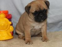 Animal Type: Dogs Breed: Pug cute pug puppies for good