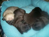 3wk. old child pugs Males 1 Fawn / blk. mask, 3 Blks. 3