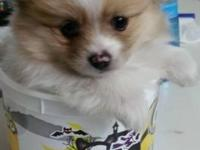 Oliver is a full breed Pomeranian that is still a