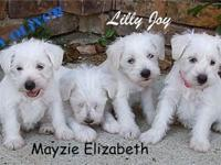 Miniature Schnauzer puppies for sale. Born on 5/11/14