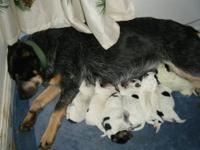 We have 4 heeler puppies for sale! The mother is a blue
