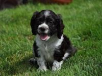 Only 1 little purebred cute 9 week old cocker spaniel