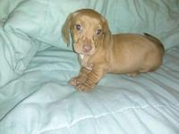 I have 4 cute doxie puppies for sale. They are now 8