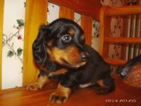 I have 1 purebred male mini-longhaired dachshund that