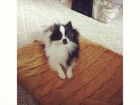 Very cute and sweet purebred parti pom female, tri