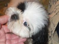 We have a Black & White, purebred Shih Tzu puppy READY