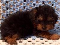 I have a very cute litter of Yorkie puppies that were