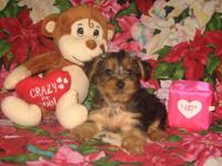 Cute Purebred Yorkshire Terrier (Yorkie) Pups! * 8