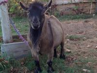 I am selling my pet male Pygmy goat. He is neutered,