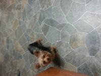 Cute Rare Chocolate Yorkie Female 16 Weeks she's very
