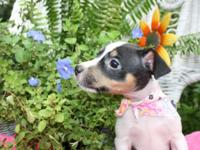 I have four cute Rat Terrier puppies. Three males and