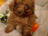 We have red male maltipoo. He is 3 months old. We are