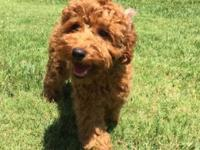 Meet Summer the cutest red poodle in this summer! She
