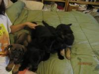 Pure bread/AKC litter registered pups for sale. $700