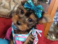 Yorkie Male & Yorkie Female available. Beautiful