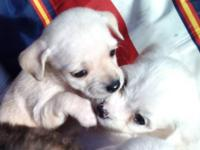 3 Cute & adorable rescued chihuahua puppies looking for