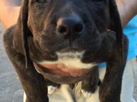 Rottweiler/Dogo Argentino Mix Puppies. Re homing fee is