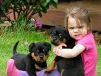 We have two 12 week old registered Rottweiler puppies