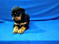 Beautiful litter of Rottweiler puppies. Ready to leave