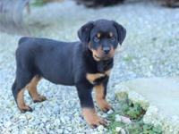 9weeks old Rottweiler puppies ready for adoption. The
