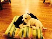 Cute, white Schnauzer Poodle mix puppy for sale. 12
