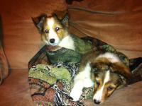 I have 2 adorable male shelties left to good homes