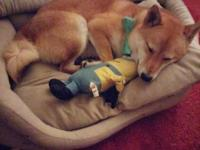 Cute pure shiba inu 10 months old unneurted, he is