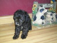 We have a litter of shih poo puppies. 2 males and 1