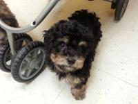 Cute shih-poo puppies for sale. They have been