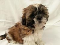Cute Shih Tzu pup for sale its a boy he was born on
