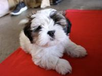 Full Bread Shih tzu Puppies now available for Adoption.