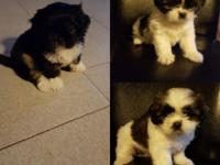 Cute lovable shih tzu puppies will be ready to go to