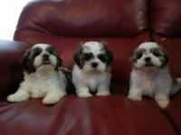 3 adorable shih Tzu puppies in sale, they're very