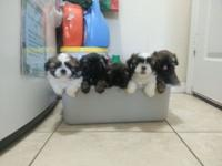 We got male shih tzu puppies prepared to satisfy their