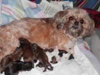 I had a beautiful litter of shih tzu puppies born on
