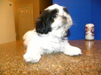 Very cute Imperial Shih-Tzu puppy!!! On October 4,