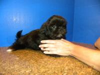 Cute Imperial Shih-Tzu puppy!!! On 10/04/2012, Kisses